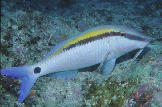 Dot-and-dash Goatfish at Ribbon reef