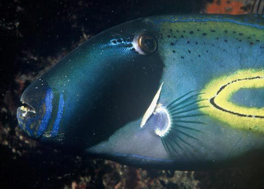 Horseshoe Leatherjacket at the Investigator Group