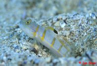 Decorated Glidergoby at North Solitary Island