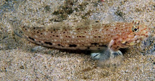 A Decorated Sandgoby at North Solitary Island