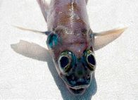 Banded Cucumberfish - head