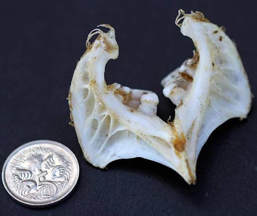 European Carp pharyngeal teeth