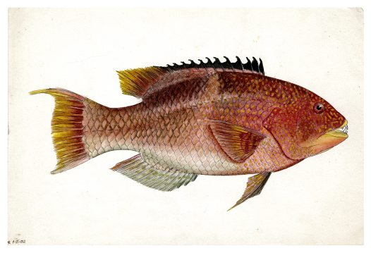Fish illustrations from Lord Howe Island #2
