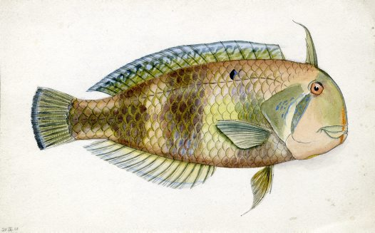 Fish illustrations from Lord Howe Island #3