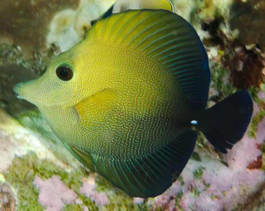 Brown Tang, Zebrasoma scopas