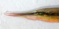 Head of a Jointed Razorfish