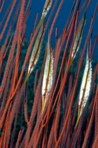 Jointed Razorfish at 'Susan's Reef'