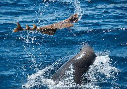 Australian Fur Seal tossing an Eastern Angelshark
