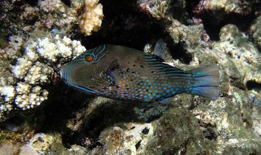 Ambon Toby, Canthigaster amboinensis