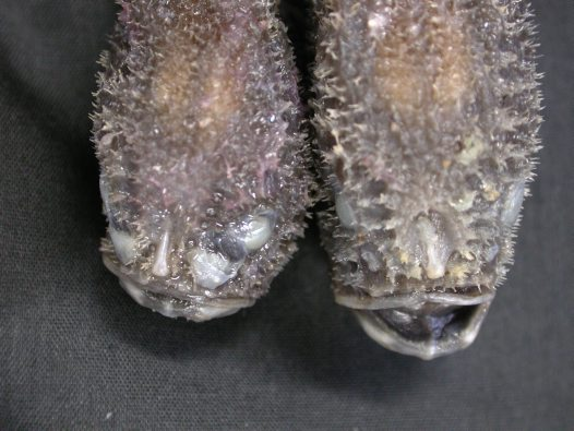 Heads of A male (left) and female Tadpole Coffinfish