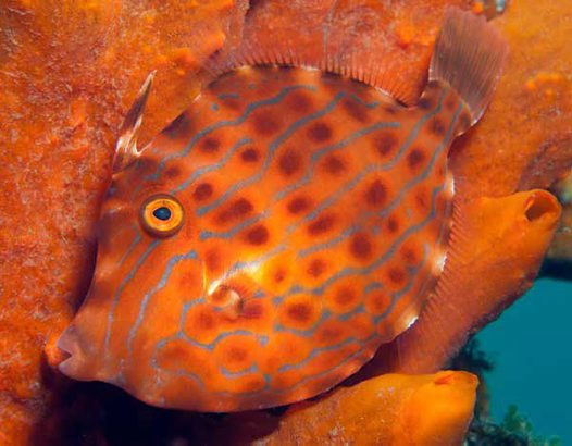 Mosaic Leatherjacket at Manly