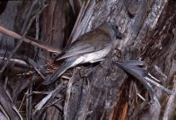 Grey Shrike Thrush at a nest