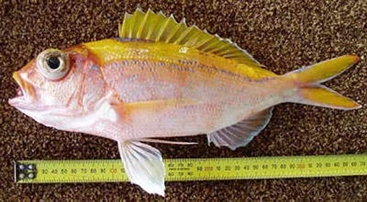 Ornate Snapper, Pristipomoides argyrogrammicus