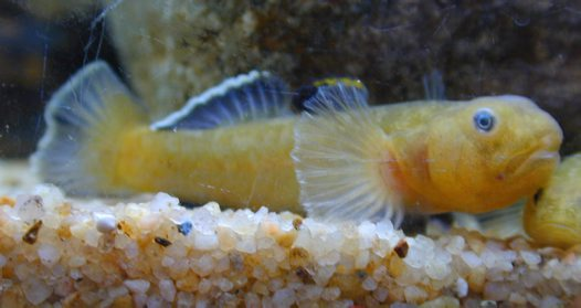 A male Desert Goby photographed in an aquarium