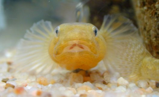 Front view of a male Desert Goby