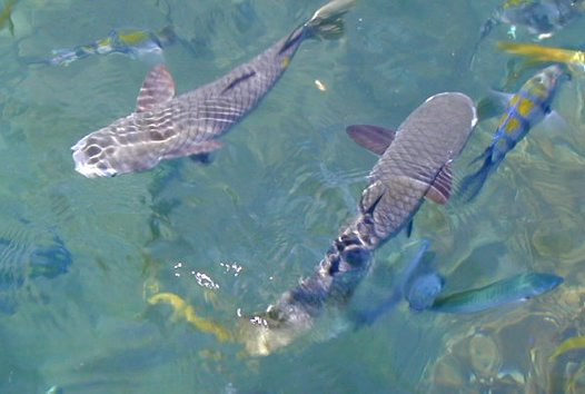 Diamond-scale Mullets at the Whitsunday Islands