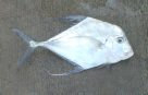 A Diamond Trevally caught at Rainbow Beach