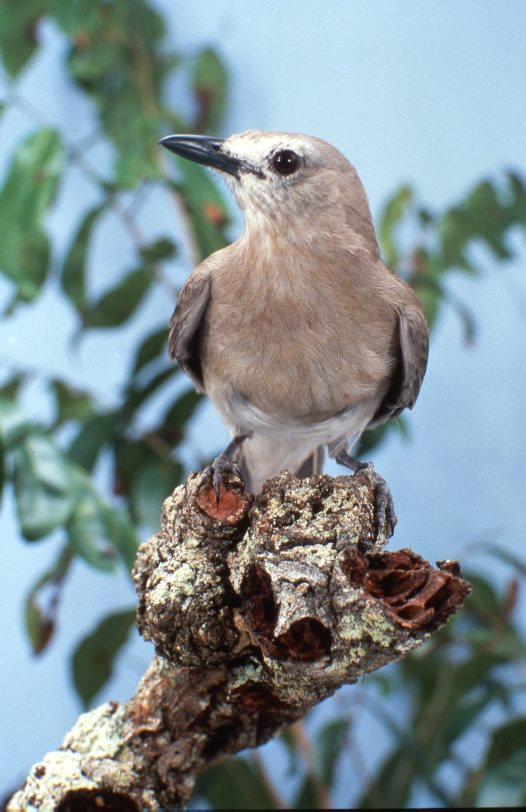 Grey Shrike-Thrush on a tree