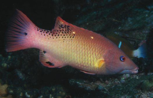 Bodianus dictynna at North West Solitary Island