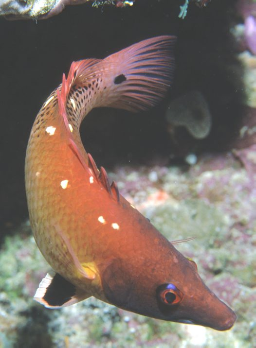 A Bodianus dictynna at Wreck Bay