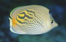 Lateral view of a Dot-and-Dash Butterflyfish