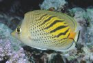 A Dot-and-Dash Butterflyfish at Cormorant Pass