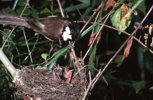 Red-whiskered Bulbul at nest