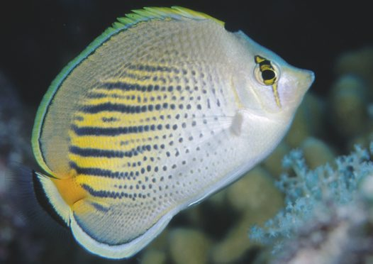A Dot-and-Dash Butterflyfish at Raine Island