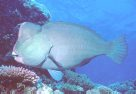 Lateral view of a Bumphead Parrotfish