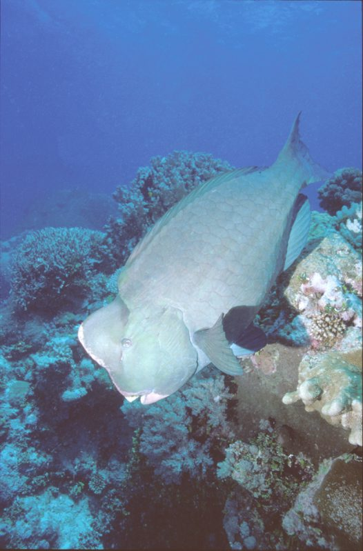 A Bumphead Parrotfish at north of Ribbon Reef