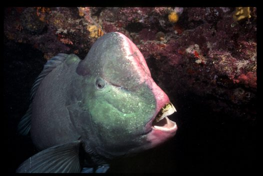 Fish FAQ - Why are they called parrotfishes? - Australian ...