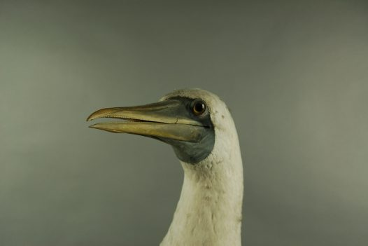 Masked booby-Lord Howe Island diorama-staff favourite