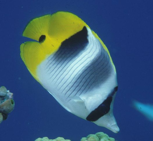 A Doublesaddle Butterflyfish at the Great Barrier Reef