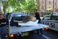 The Macquarie Street Lion #3