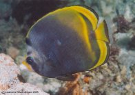 A Dusky Butterflyfish at Fly Point
