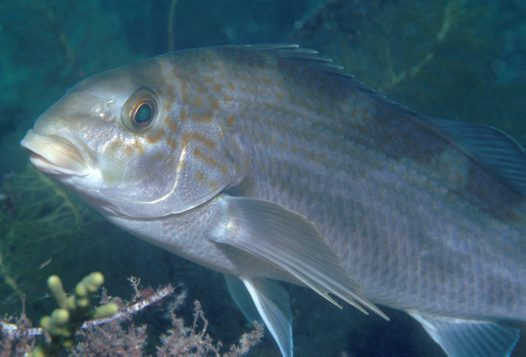 A Dusky Morwong at Rapid Bay Jetty