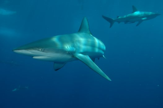 Common Blacktip Sharks at Alliwal Shoals