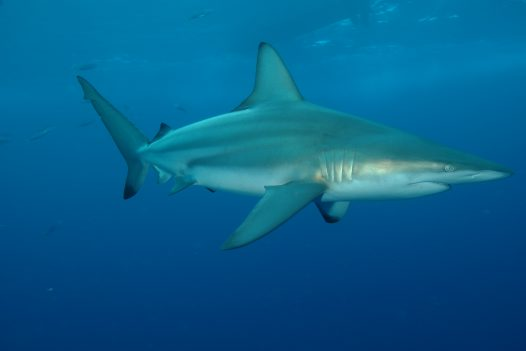 A Common Blacktip Shark at Alliwal Shoals, Kwazulu-Natal, South Africa