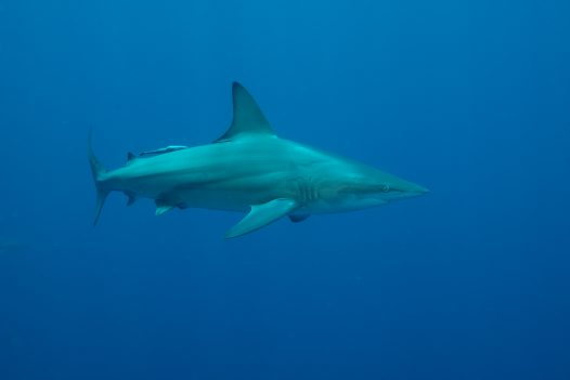 A Common Blacktip Shark at Alliwal Shoals, Kwazulu-Natal