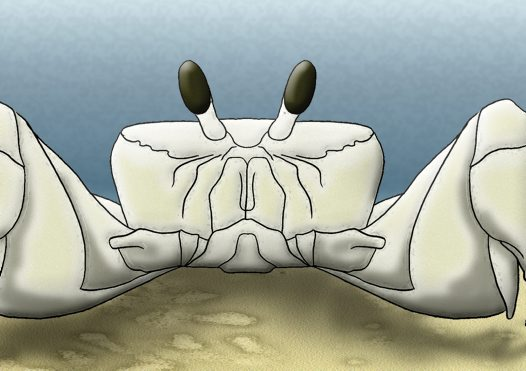 Ghost Crab Illustration