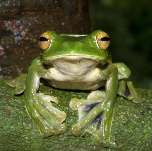 Helen's Flying Frog front on