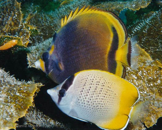 Dusky and Gunther's Butterflyfishes at Fly Point
