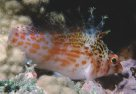 Dwarf Hawkfish at Mantis Reef