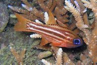Blue-eye Cardinalfish, Ostorhinchus compressus