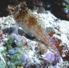 A Dwarf Hawkfish at Ribbon Reefs