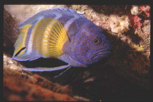 An Eastern Blue Devil at Jervis Bay