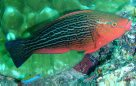Female Swarthy Parrotfish