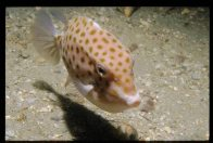 An Eastern Smooth Boxfish at Oak Park