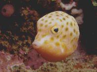 Eastern Smooth Boxfish at Oak Park