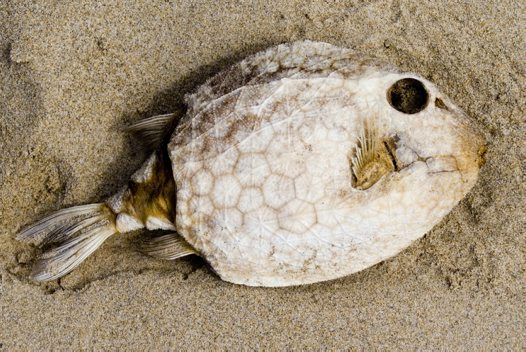 An Eastern Smooth Boxfish washed up on the beach